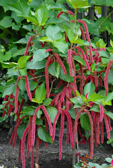 acalypha_hispida