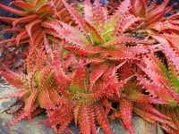Aloe-dorotheae