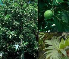 artocarpus x altilis