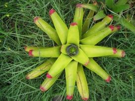 Bromelias, Neoregelia cruenta