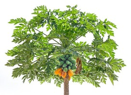 P-2-26 Carica papaya