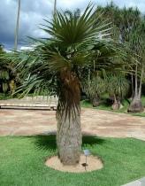 Coccothrinax crinita