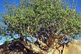 Commiphora mirrha