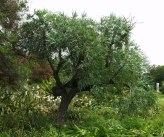 cussonia-spicata-