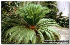 Cycas hainanensis