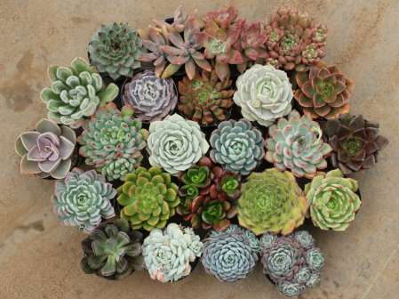 Echeveria mix