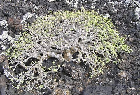 euphorbia_balsamifera
