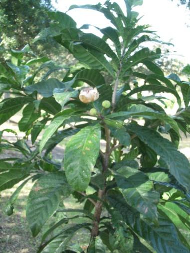 gustavia augusta arbol